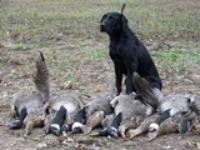 Black Labrador Retriever Besides a Days Hunt